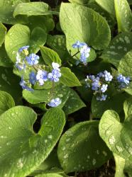 <i>Brunnera macrophylla</i> 'Silver Wings'