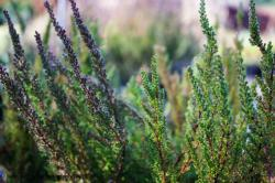 <i>Calluna vulgaris</i> 'Dark Beauty'