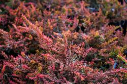 <i>Calluna vulgaris</i> 'Wickwar Flame'