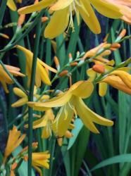 <i>Crocosmia</i> x <i>crocosmiiflora</i> 'Honey Angels'