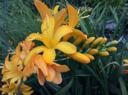 <i>Crocosmia</i> 'Pauls Best Yellow'