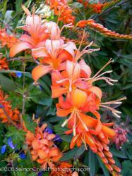 <i>Crocosmia</i> 'Walberton Orange'