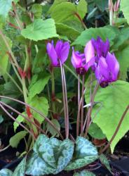 <i>Cyclamen purpurascens</i>