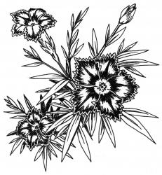 <i>Dianthus</i> 'Queen of Sheba'