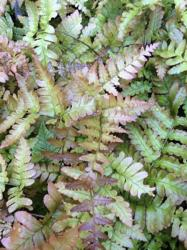 <i>Dryopteris erythrosora</i> 'Brilliance'