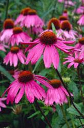 <i>Echinacea purpurea</i> 'Kims Knee High'