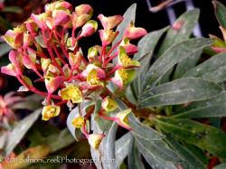 <i>Euphorbia</i> 'Canyon Gold'
