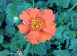 <i>Geum</i> 'Prinses Juliana'