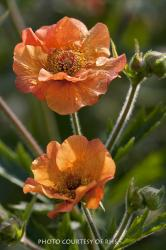 <i>Geum</i> 'Totally Tangerine'