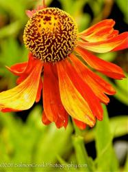 <i>Helenium</i> 'Moerheim Beauty'