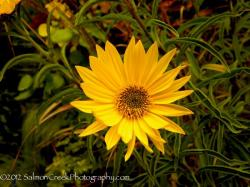 <i>Helianthus</i> 'Undaunted (Tm) Lemon Max (Dakota Queen)'