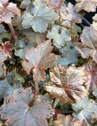 <i>Heuchera</i> 'Blackout'