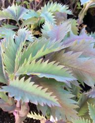 <i>Melianthus major</i> 'Antonow's Blue'