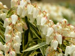 <i>Pieris japonica</i> 'Little Heath'