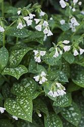 Pulmonaria saccharata Sissinghurst White