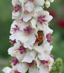 <i>Verbascum chaixii</i> 'Wedding Candles'