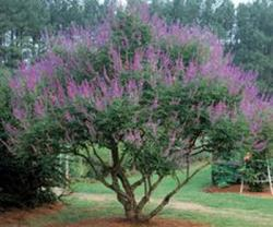 <i>Vitex agnus-castus</i> 'Shoal Creek'